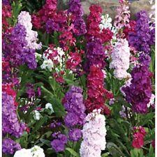 50+ Evening Stock Matthiola Flower Seeds Mix / Reseeding Annual