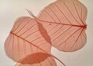 15 Large Skeleton Leaves/ 8cm/Natural/Superb Quality/Embellishment/Crafts/Colour