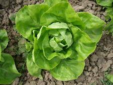 Winter-Buttersalat Humil, Culinaris Bio-Saatgut, für min. 100 Pfl.