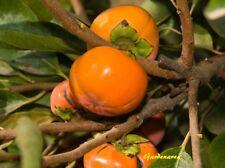 10 Graines de Plaqueminier Diospyros Kaki , Japanese Persimmon tree seeds