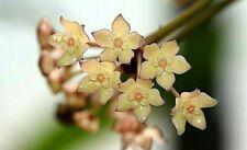 Hoya Macrophylla variegata  gut bewurzelter Blatt