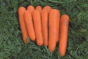 Carrot 360 Attillio F1 Seeds - UK Seller