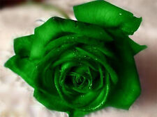 Emerald Rose Seeds - Bright Green Blooms - Winter Hardy Plant -10 Seeds