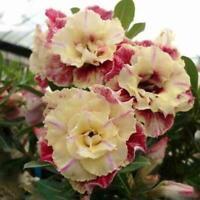 5pcs//set Desert Rose Flower Adenium Obesum Lemon Plant Beautiful Seeds F5F7 F9R1