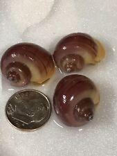 3 MAGENTA Mystery Snails (Pomacea Bridgesii) Live Freshwater Snail
