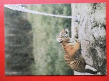 POSTCARD ANIMALS SIBERIAN TIGER AT MARWELL ZOO