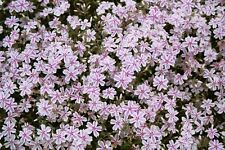 New listing Candystripe Creeping Phlox 25 Plants in 3-1/2 inch Pots Free Shipping