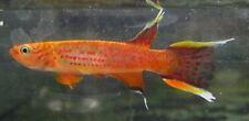 Aphyosemion Australe Lyretail Killifish Pair Live Freshwater Aquarium Fish