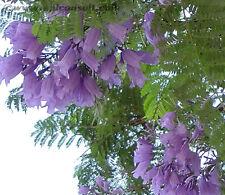 25 Blue Jacaranda Tree Mimosifolia Fern Flower Seeds + Gift & Comb S/H