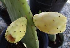 20 Seeds Yellow Frt Prickly Pear Cactus Opuntia Cristalina Pad Nopal Tuna Zarca