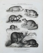 1810 Beaver Musk Mouse Hamster Mole Rat Mammalia Antique Engraving Print Rees