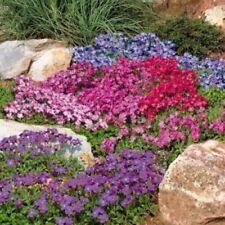 """Organic Flower Seeds Aubrieta """"Mix"""" (Aubrieta hibrida) Obrieta Natural 100 Seeds"""