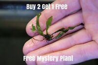Java Fern BUY 2 GET 2 FREE Microsorum pteropus Live Aquarium Plants