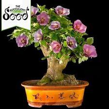 Rose of Sharon - Hibiscus syriacus (20 Bonsai Seeds)