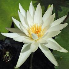 Nymphaea ampla | Dotleaf Waterlily | White Lotus | 10 Seeds