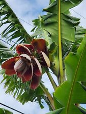 Musa 'Thai Black' banana tree. Live Banana tree. Large 4ft+ banana tree.