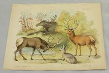 1850 Antique COLOR Print/ELK, WAPITI, RED DEER, ROEBUCK/Hand-Colored