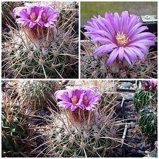 10 semi di Echinofossulocactus ochoterenaus ,piante grasse,seeds cactus