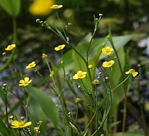 Garden Pond Plant Lesser Spearwort Native Aquatic Marginal Hardy Rooted Cutting