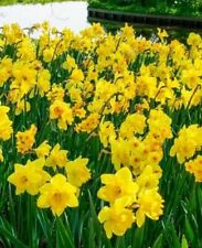 400X Charm Daffodil Seeds Spring Flower Double Narcissus Seeds Bulbs A8C1 G H1Q5