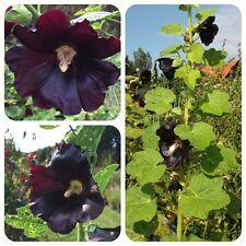 Schwarze Stockrose Malve Färbepflanze Teepflanze Bauerngartenrose Bienenweide