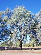 Eucalyptus melanophloia (Gum Tree) in 50mm forestry tube native plant tree