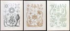 1899 HAECKEL KUNSTFORMEN - SET 12.1 - 3 ORIGINAL PRINTS # 35, 6, 3