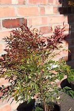 Nandina Domestica - SACRED BAMBOO- Good Plants -Approx 40cm tall