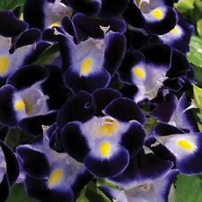 20+ DEEP BLUE TORENIA WISHBONE FLOWER SEEDS  / ANNUAL