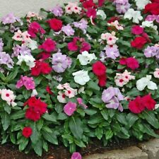Vinca Little Mix Seed x 50. Annual Mixed Colours Dislikes Frost & Drought.