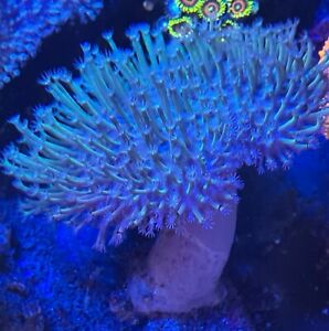 LONG POLYP JAPANESE TOADSTOOL LEATHER soft Coral