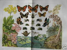 Antique litho Darwin butterfly vlinder insect 1904