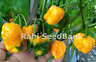 Carolina Reaper Yellow X Moruga Yellow - One of the World's Hottest Chilli - OZ