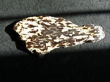 Colorado Petrified Palm Wood ** Polished Specimen **Extra Large Dots**