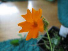Thunbergia gregorii   Orange Clockvine   Pint Plant Free Shipping