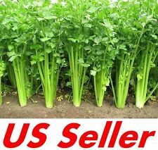 200 Seeds Chinese Celery E84, Chinese Vegetables Seeds