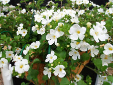 Fairy Flower Seed Becopa Snowtopia x 10 seeds Trailing Basket Plant