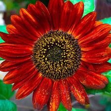 Blumensamen SONNENBLUME RED SUN 20 Samen rote bis weihnrote Blühten