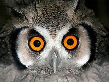 AFRICAN WHITE FACED OWL WIDE EYES BIRD ART PRINT POSTER PICTURE BMP146A