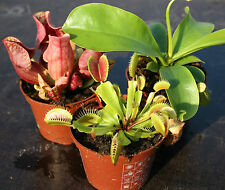 3 x live CARNIVOROUS PLANTS:Nepenthes alata,Sarracenia purpurea & Venus fly trap