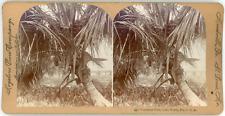 Stereo, Keystone View Company, Cocoanut Palm, Lake Worth, Fla, U. S. A. Vintage