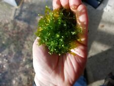 subwassertang aka Pellia Moss Great shrimp moss
