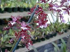 Sharry Baby, the Chocolate Orchid, in spike, in 4-inch pot
