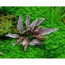 Cryptocoryne Flamingo Freshwater Rare Live Plant Aquarium Crypt Aquatic Tank