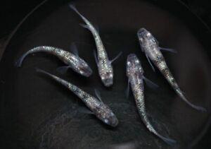 15 Eggs of Oryzias latipes «Grey Marbled» (Japanese Killifish, Medaka)