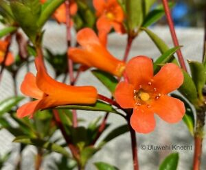 Rhododendron 'Penny Whistle' VIREYA compact orange epiphyte orchid VERY RARE