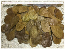 100 Stück Seemandelbaumblätter 6-9cm - Nano Größe für die Kleinen erstmals hier