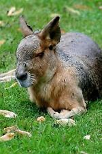 A Patagonian Mara in the Grass Journal : 150 Page Lined Notebook/Diary by C....