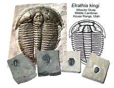 Cambrian Elrathia kingi trilobite fossil on matrix Wheeler Shale Utah