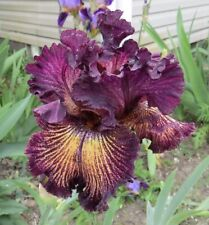 "1 Tall Bearded Iris ""Drama Queen�- Fragrant - Large Rhizome, size #1"